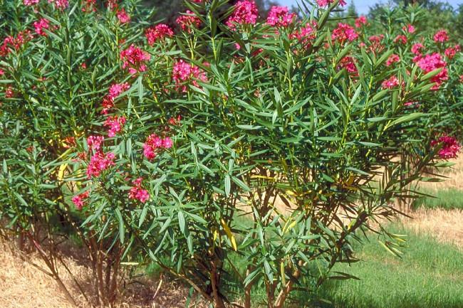 Tanaman oleander untuk basmi COVID-19